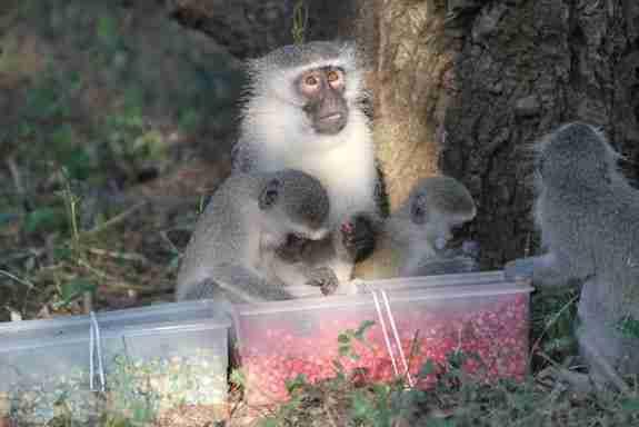 vervet-monkeys1